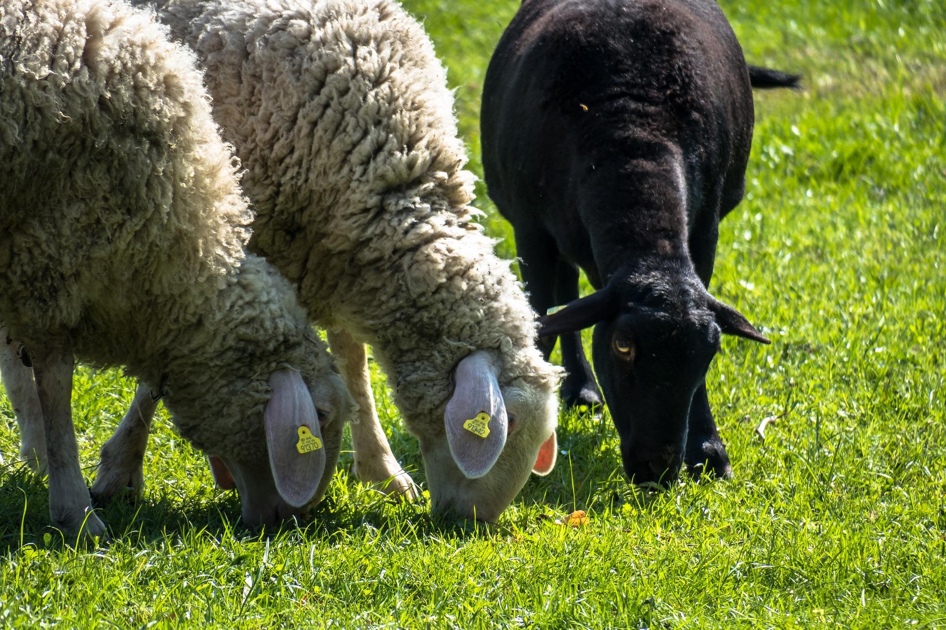 un mouton noir parmi les moutons blancs